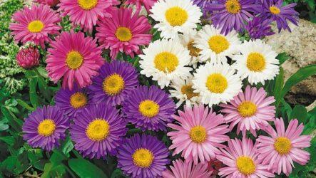 Альпийская астра: посев семян и выращивание растений. Размножение черенками и уход. Болезни и вредители