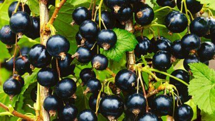 Чёрная смородина сорт Кудмиг. Как сажать и выращивать. Болезни и лечение. Обрезка.