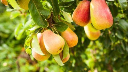 Груша (дерево). Как выращивать и ухаживать. Виды и особенности. Болезни и лечения. Цена