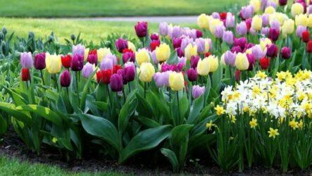 Тюльпан цветок. Как выращивать, особенности, их виды и уход. Болезни и лечения. Цена.