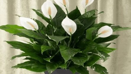Спатифиллум (комнатный цветок). Как выращивать, ухаживать и поливать. Виды,особенности и полезные свойства. Болезни и лечение спатифиллума. Цена