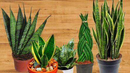 Сансевиерия (комнатный цветок). Как выращивать, ухаживать и поливать. Виды и особенности сансевиерии. Болезни и лечения. Цена.