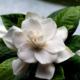 Гардения цветок. Как выращивать и ухаживать. Виды и особенности. Болезни и лечение. Цена