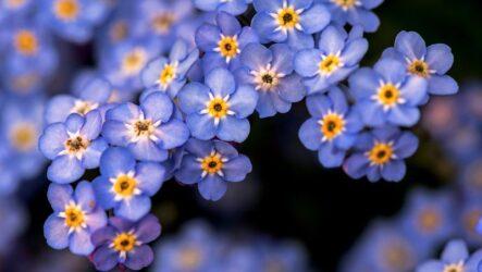 Незабудки (цветы): посадка и уход в открытом грунте