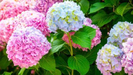 Гортензия цветок. Как выращивать и ухаживать.  Посадка. Особенности и их виды. Болезни и лечение. Цена