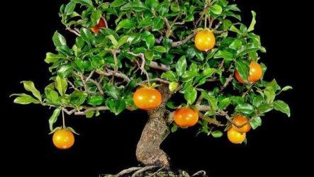 Хурма дерево. Как выращивать и ухаживать в домашних условиях. Полезные свойства хурмы. Виды и их особенности. Болезни и лечение. Цена
