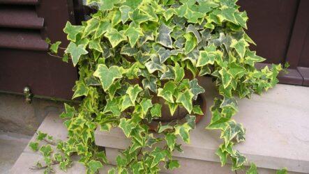 Хедера цветок. Как выращивать и ухаживать. Полезные свойство. Виды и их особенности. Болезни и лечение. Цена