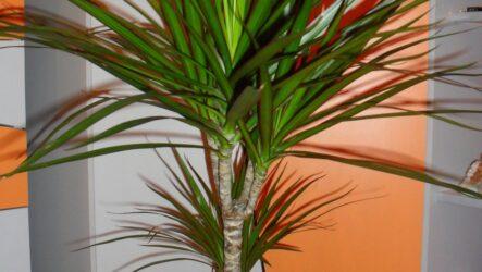 Драцена цветок. Как выращивать драцена цветок в домашних условиях? Особенности и их виды. Полезные свойство. Болезни и лечение. Цена