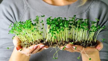 Как вырастить микрозелень в домашних условиях. Полезные свойства. Особенности и их виды. Посадка и уход. Болезни и лечение. Цена